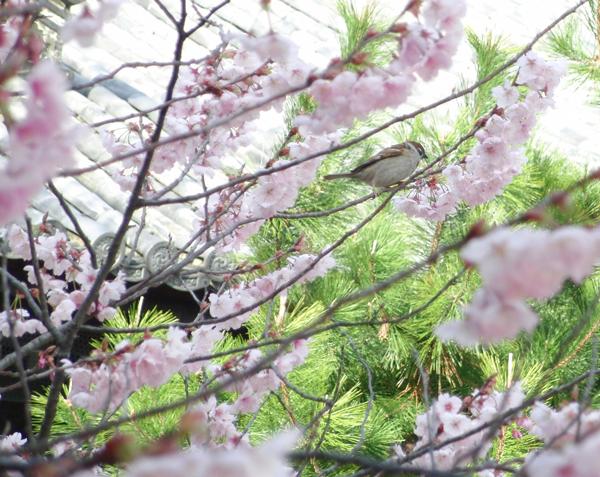 京都市百万遍知恩寺の桜と雀