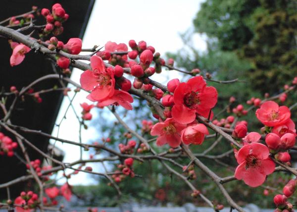 京都市百万遍知恩寺の梅