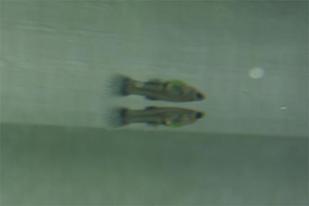 稚魚3_091216
