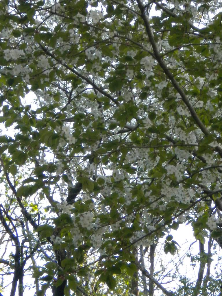 wild sakura