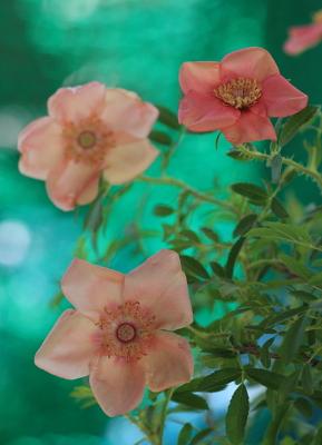 rose3001