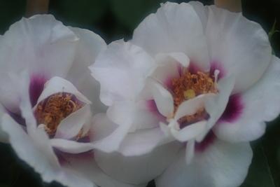 rose3006