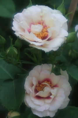 rose3007
