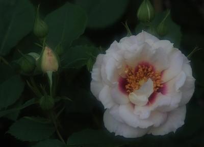 rose3008