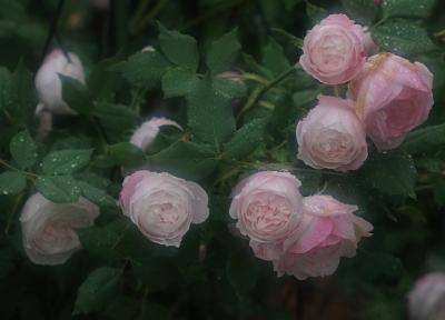 rose3011