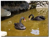 黒鳥-1-