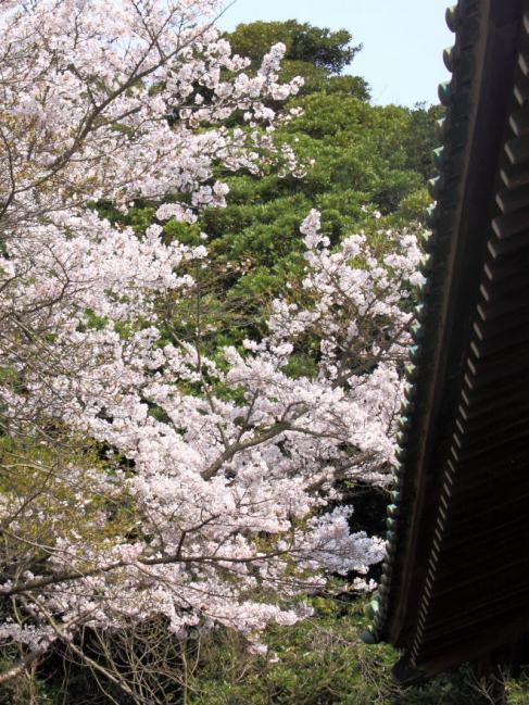 桜と屋根s