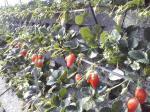石垣イチゴ栽培