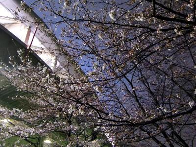 100323夜桜