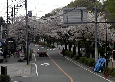 等々力緑地桜1