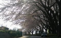 2010桜 ①
