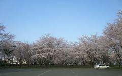 2010桜②