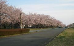 2010桜③