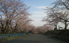 2010桜④