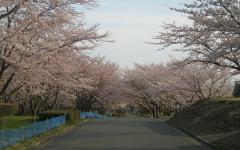 2010桜⑤