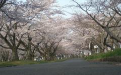 2010桜⑥