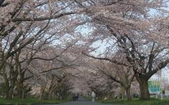 2010桜⑦