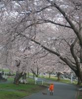 2010桜⑧