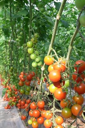 100716 トマト。