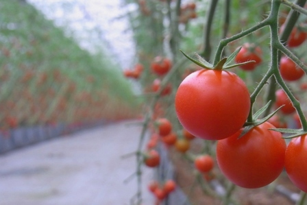 100722 トマトもうすぐ終わり。