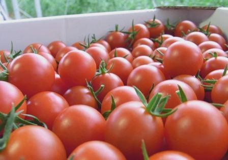 101016 tomato