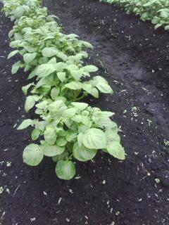 芽かき前ジャガイモ