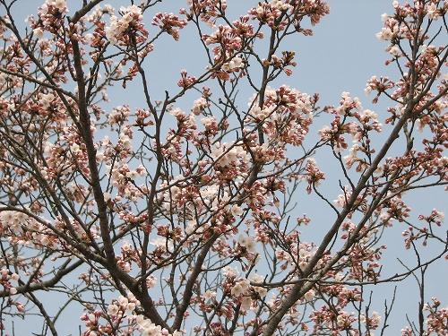 10.4.19桜