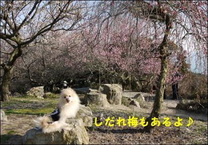 しだれ梅2010