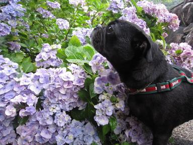 花とパグIMG_1369