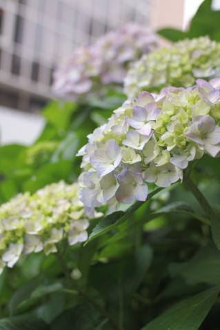 azisai_20110605_3