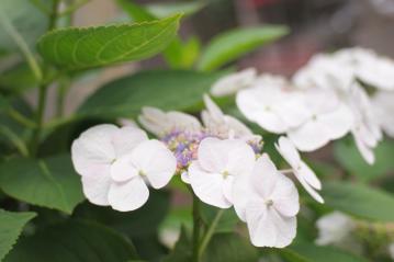 azisai_20110605_6