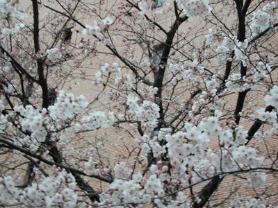 八丁堀の桜2