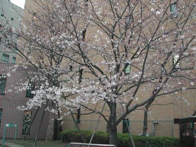 八丁堀の桜1