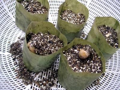 落花生の芽