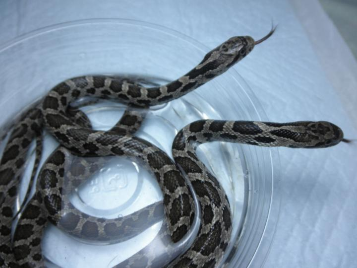 キツネヘビ