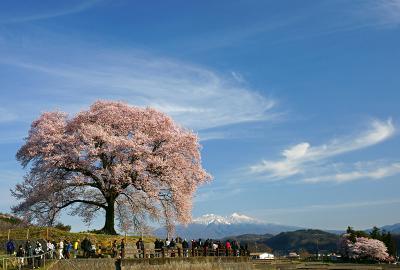 sakura_wani02.jpg