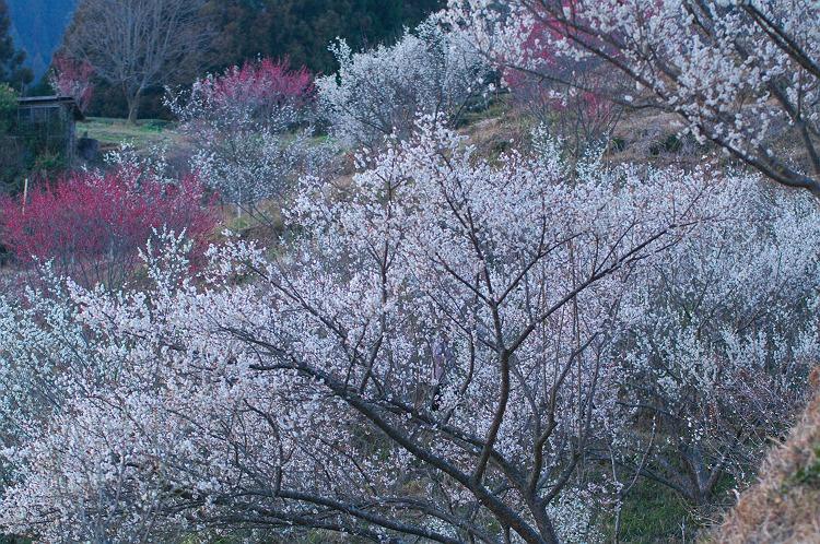梅薫る小径