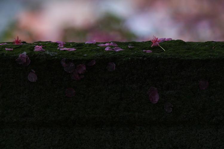 神社の一本桜
