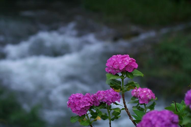紫陽花と水の風景