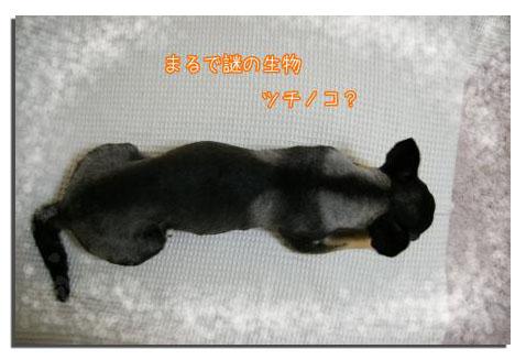 スムースチワワのサマーカット・コレクション 2008~20118