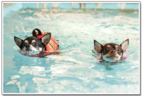世界水泳大会の日本代表ワンコです。1