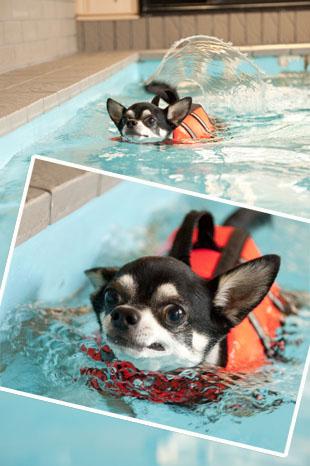 世界水泳大会の日本代表ワンコです。3