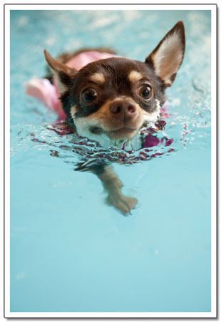 世界水泳大会の日本代表ワンコです。4
