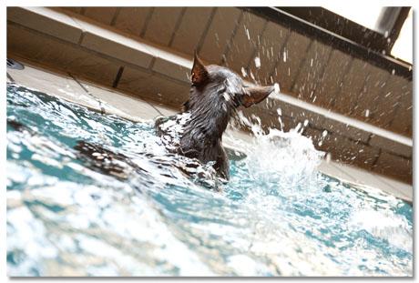 世界水泳大会の日本代表ワンコです。6