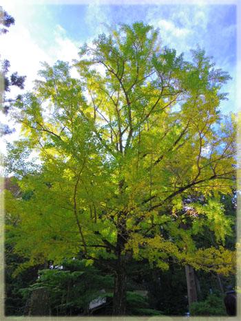 筑波山神社の秋。~イチョウ編~2