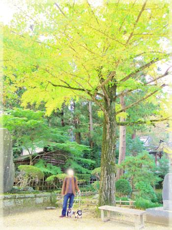 筑波山神社の秋。~イチョウ編~5