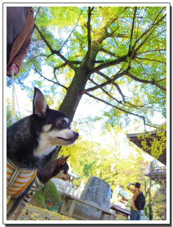 筑波山神社の秋。~イチョウ編~6