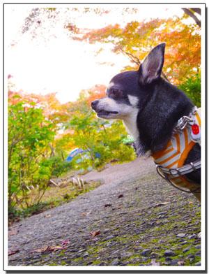 筑波山神社の秋。~もみじ編~2