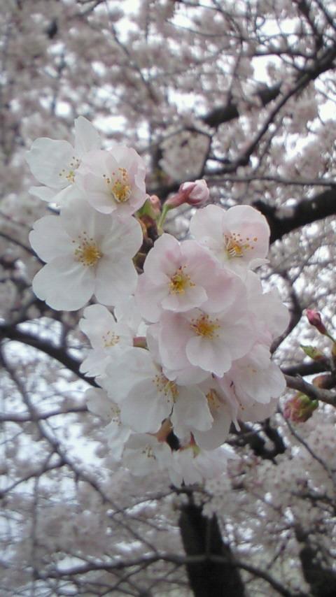桜4.4(2)