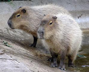 742px-Bristol_zoo_capybara_arp.jpg